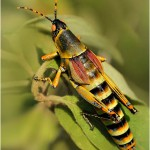 South African Grasshopper Sally KIlpin