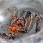 Tunnel Web Spider Kathy Chantler
