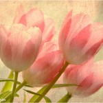 Sally Kilpin - Perfect Pink