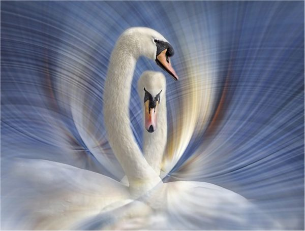 Swan Dance - Kathy Chantler