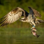 """Osprey with Catch"" by Julia Wainwright ARPS DPAGB – Harrow CC"