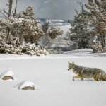 """Yellowstone Coyote in Deep Snow"" by Julia Wainwright ARPS DPAGB – Harrow CC (Best Print : Nature)"