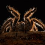 """Chilean Rose Tarantula"" by Rod Eva LRPS CPAGB – Amersham PS"