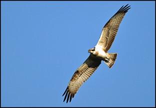 Osprey at Weston Turville Reservoir