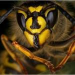 Common Wasp, Vespula Vulgaris by Danny Ewers
