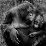 """Orangutan and Baby"" by Carrie Eva CPAGB – Amersham PS"