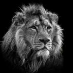 """Asiatic Lion"" by Dick Fielding – Marlow CC"