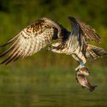 """Osprey with Catch"" by Julia Wainwright ARPS DPAGB – Harrow CC"