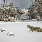 """Yellowstone Coyote in Deep Snow"" by Julia Wainwright ARPS DPAGB – Harrow CC (Best Print : Nature)"