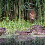 """Sitting Ducks"" by Michelle Cirkel BPE2 – Watford CC"