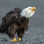 """Call of the Wild – Bald Eagle"" by Julia Wainwright ARPS DPAGB – Harrow CC"