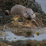 """""""Otter"""" by Judy Hallas – Bicester CC"""