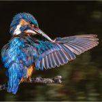 """Kingfisher preening"" by David Gibbs"