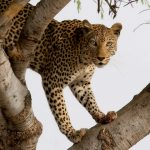 """Leopard"" by Sara Jennings"