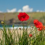 """Poppies on the coast"" by Tami Nunley"