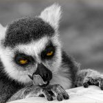 """Licking Lemur"" by Peter Carter"