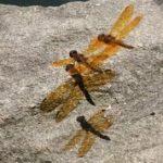 """Dragonflies Shadows"" by Carol Haines"