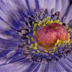 Anemone Heart by Barry Coxon