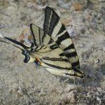 Greek Butterfly on the Beach by Derek Green