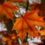 Russet leaves. Carol Haines 4a resized