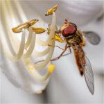 Marmalade Hover Fly © David Gibbs