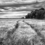 Fields of Gold in Black and White by Tami Nunley