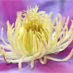 3rd Place with 20 points – Nelly Moser Clematis by Nick Razey