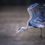 Grey Heron Ready to Attack © Chenxi Ni
