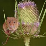 Harvest Mouse © Nicholas Razey