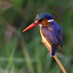 Malachite Kingfisher © Sarah Jennings