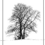 Oak After Snowfall © Peter Carter