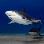 1 Patrolling Reef Sharks