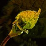First Hydrangea Leaf Emerges © Tami Nunley