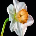 Silver David Gibbs Narcissus Flower Record